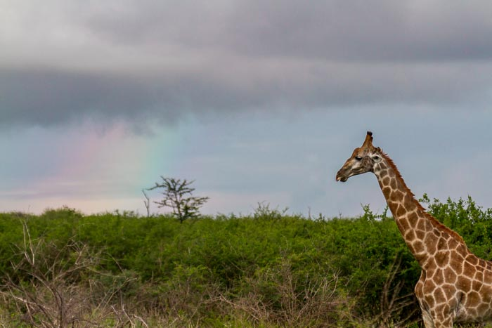 A Giraffe is certainly a symbol of Africa.