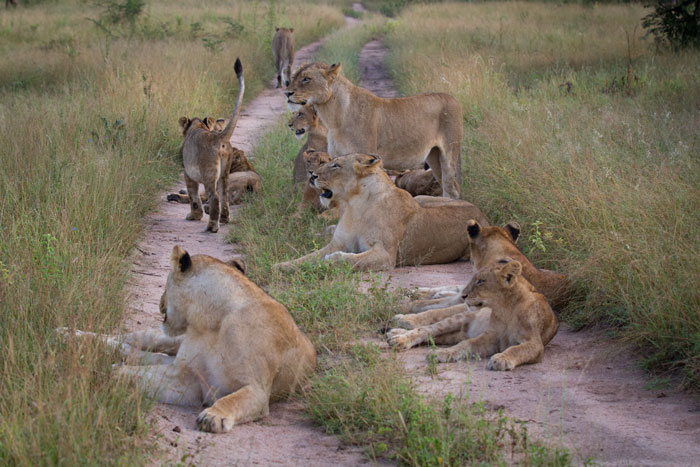 Still at 13 members with all 9 cubs healthy and happy, the Mhangeni pride are a delight to spend time with.