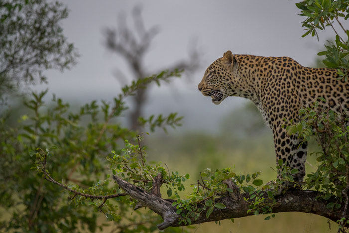 The Vomba Young Male was the first leopard found after a two day dearth of the big cats. After being spotted by some kudu during a hopeless hunting attempt, his youthful exuberance took over and he started climbing trees, providing some wonderful photographic opportunities. James Tyrrell