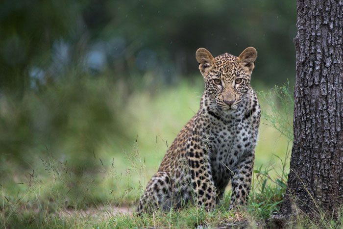A rare photograph of one of the Tutlwa female's cubs. Photograph by Simon Smit