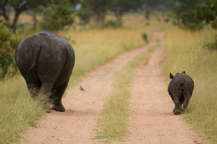 A mother white rhino and her calf able down the road. Photographing adults and young ones that are mirroring each other in what they are doing can further highlight the size difference between them.