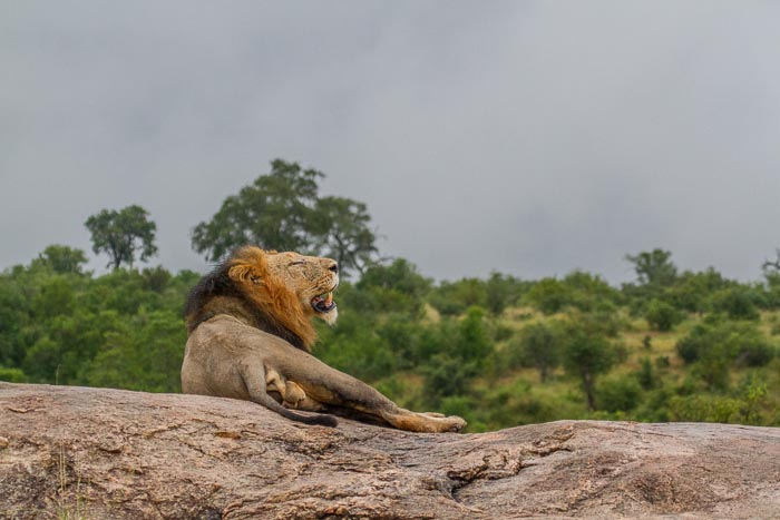The Dark Maned Majingilane Male rests on Plaque Rock.