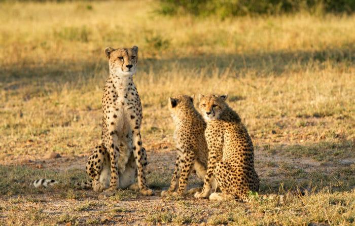 Cheetah Two Cub Jt