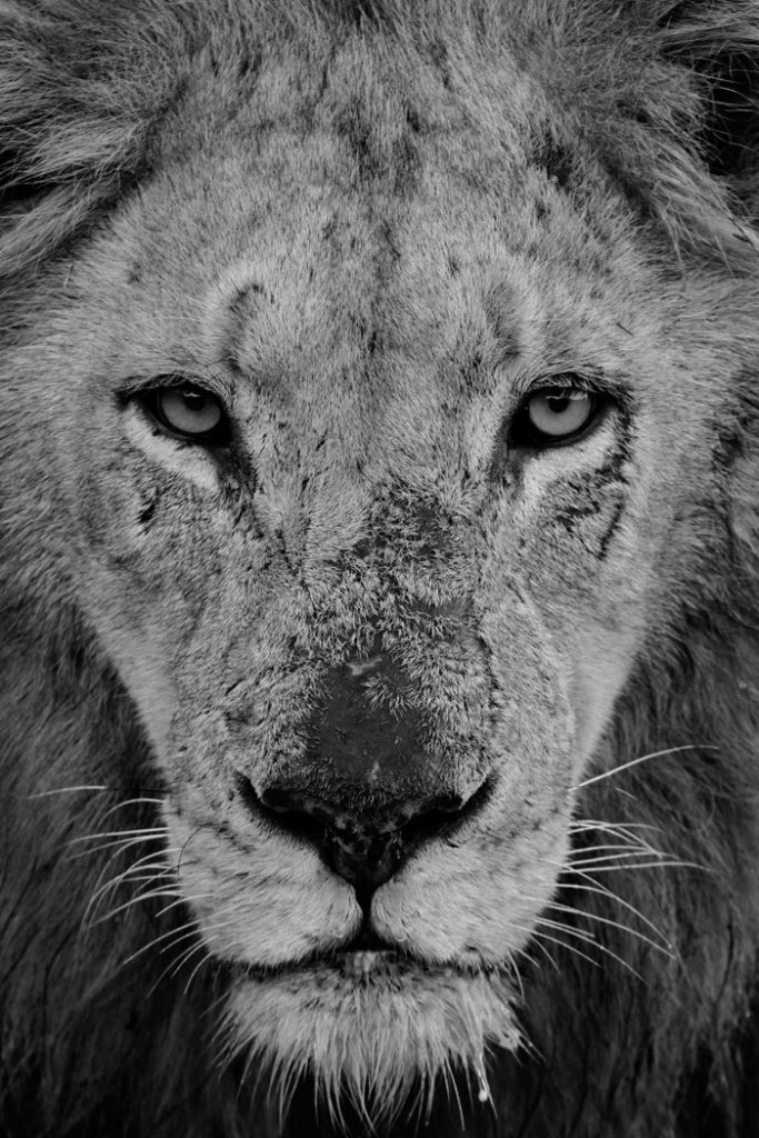 Londolozi's Majingilane male lion portrait in black and white showing his scarred face by Mike Sutherland.