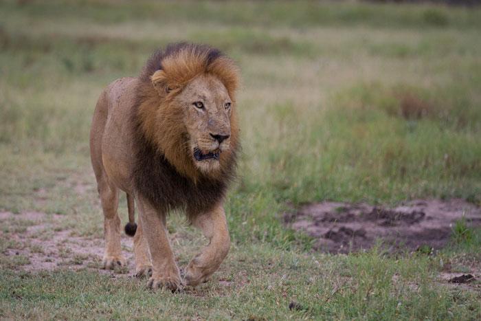Londolozi's Majingi male lion walks across a clearing