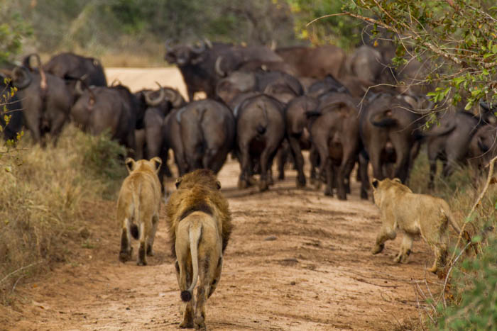A male lion joins the lioness in a hunt for buffalo at Londolozi by Mike Sutherland