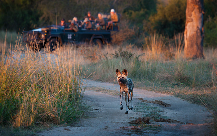 Wild Dog on the move. Photograph by: Rich Laburn