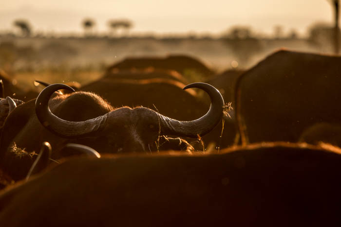 Buffalo in the afternoon sunlight. Mike Sutherland