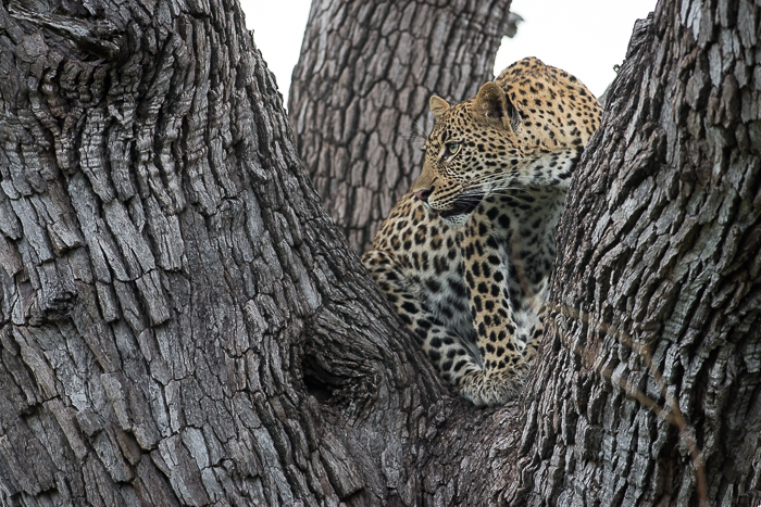 Arguably the most valuable Leopard on the property at the moment. The Tamboti young female. Simon Smit