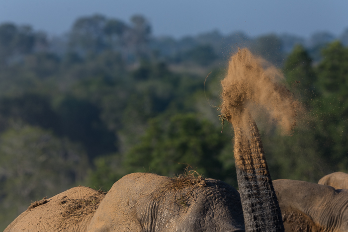 An Elephant sprays sand over her back. Simon Smit
