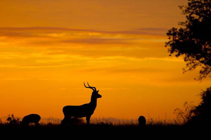 An Impala in the morning light. Mike Sutherlnd