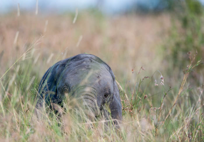 A young Elephant ambles through the long grass in open areas. Mike Sutherland