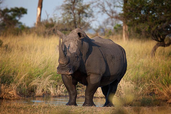 White Rhino by Rich Laburn
