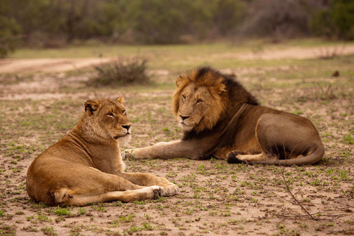 This female and male lion take a rest between mating! The first green grasses of spring can be seen. Photograph by Talley Smith.