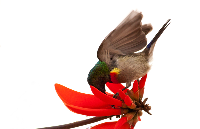 A sunbird feasts on the flower of the sacred coral tree. Photograph by Kate Neill.