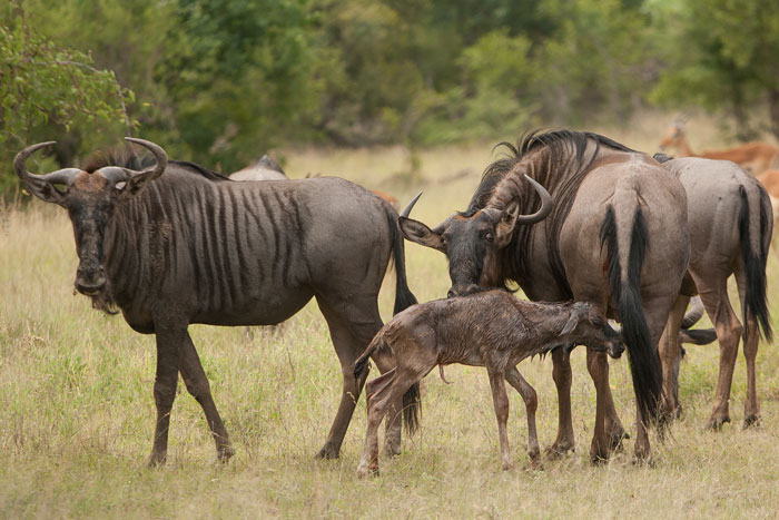 A newborn wildebeest calf takes its first steps at Londolozi
