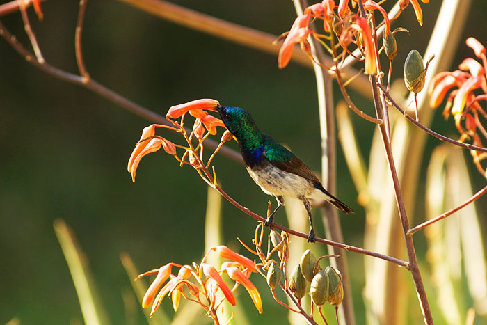 A White-bellied Sunbird feeds on nectar from an aloe flower.  This beautiful little bird is a common site in the winter months when the Aloes flower in abundance throughout the Lowveld of South Africa. Photograph by James Tyrrell