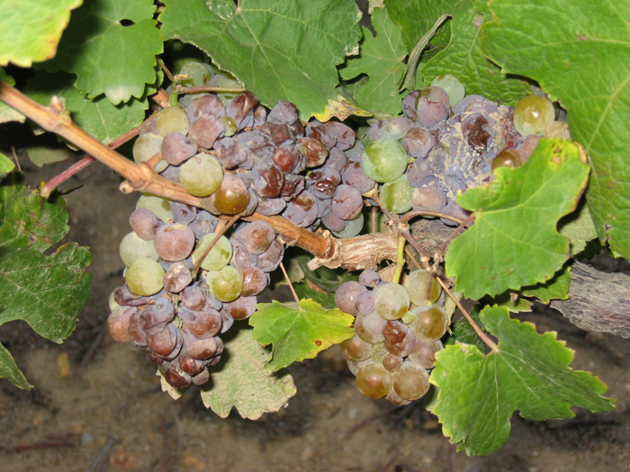 Botrytis in Riesling grapes