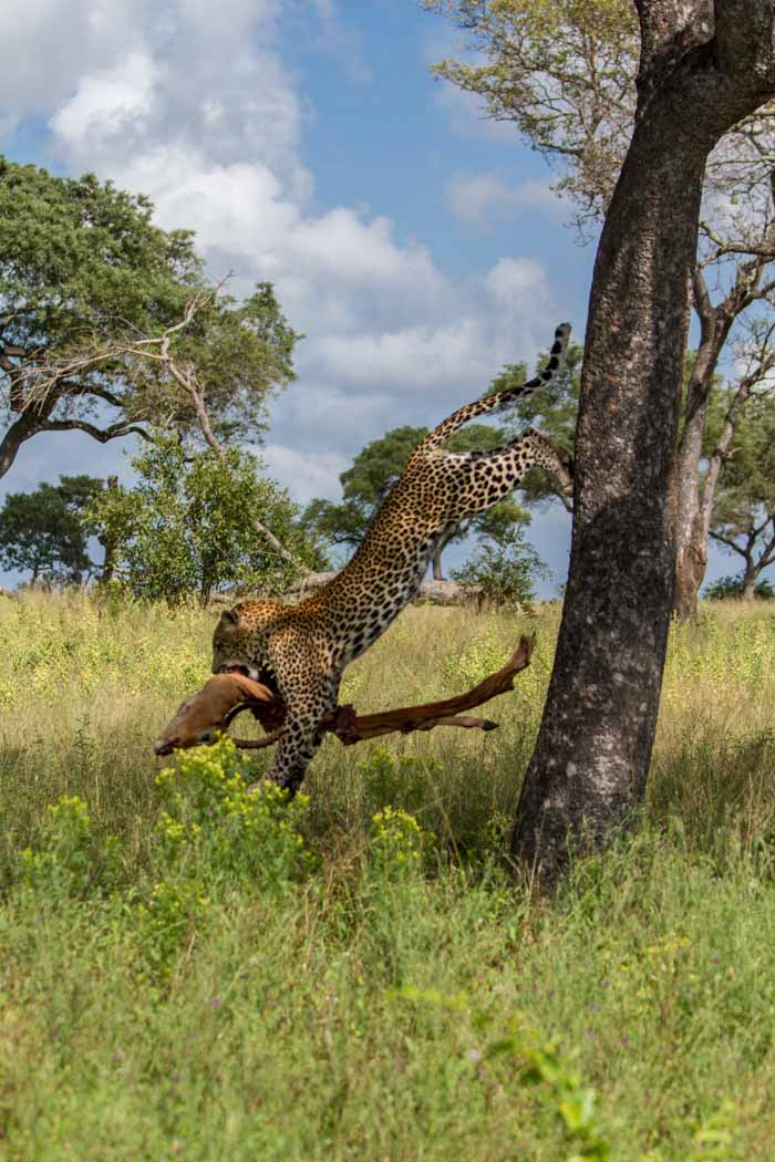 Before he lands, he stretches his legs out to brace for the hard hit on the ground before carrying his prize toward a thicket.