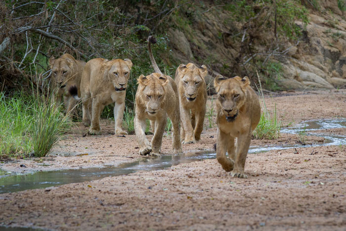 The pride winds its way through the twists and turns of the Maxabene riverbed. One can see how the young males, with the first semblances of manes, are almost the same size as the adult lionesses now.