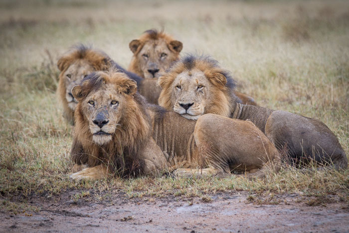 All four Majingilane stare after the pride females. With the five young Sparta lions actively hunting now, it should not be long before the adult lionesses come back into oestrus again.