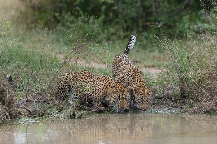 Tamboti Female and cub Drinking - Simon Smit
