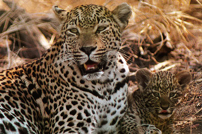 The Original Mother Leopard and Cub