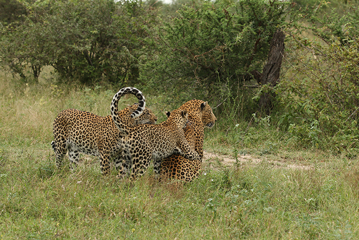 Tamboti, Cub and Camp Pan Male Leopard - Lucien Beaumont