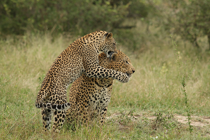 Tamboti Cub and Camp Pan Male - Lucien Beaumont