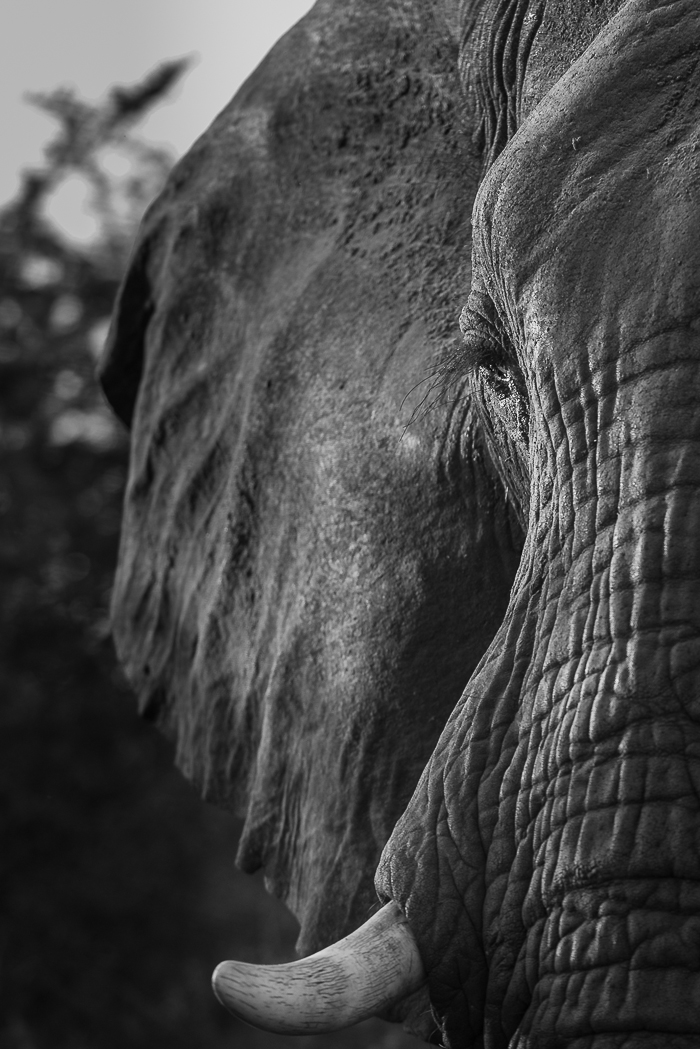 The morning light falls across an elephant bull's face as he eyes out the vehicle on his way past.