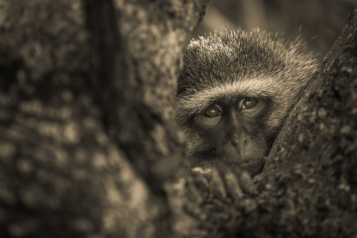 Day dreaming. Some time spent with the Vervet monkeys around camp as they rest from the midday heat.