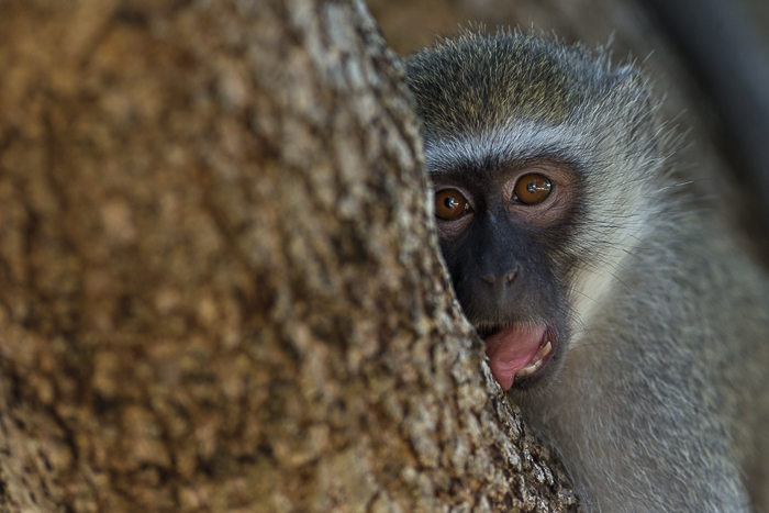 A Vervet monkey yawns as it relaxes on the limb of a tree.