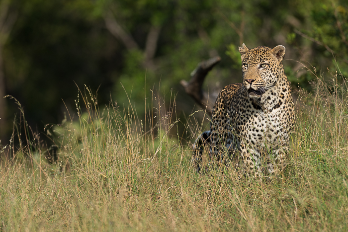 The Marthly Male on the move, he eventually found the Mashaba female and stole her fresh Impala kill.