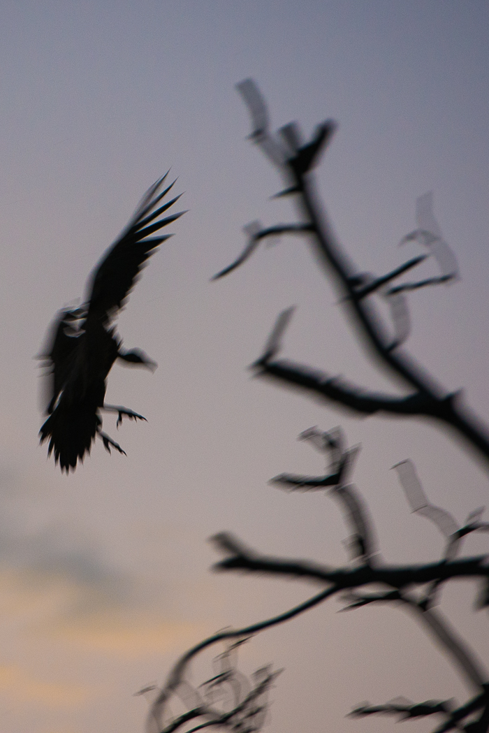 Some interesting shapes and colour from a slow shutter speed of the vulture coming in to roost for the evening.