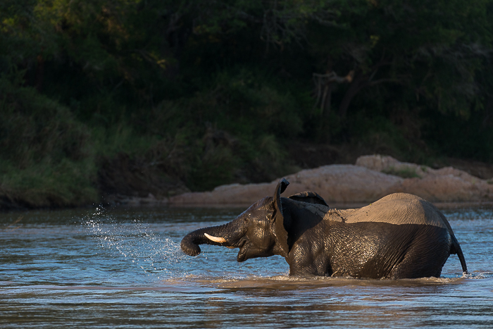 A sighting I have dreamt of for years, Elephants crossing the Sand river. This young bull looks to be enjoying it as much as I did.
