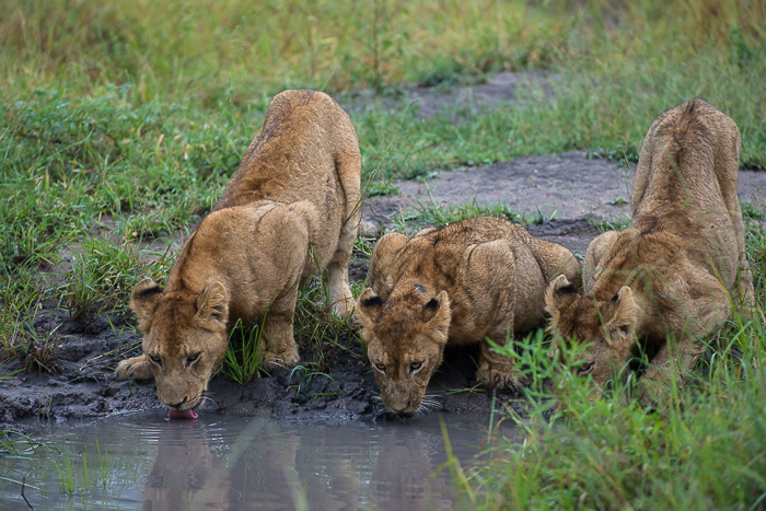 The Mangheni cubs quenching their thirst.