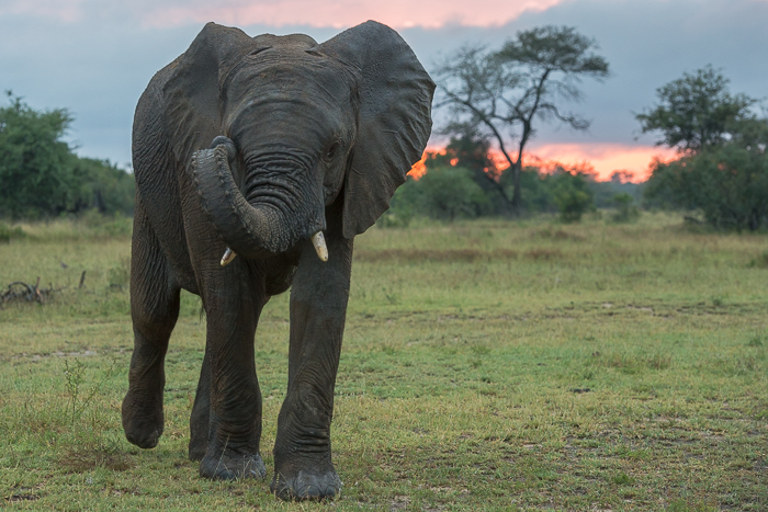 This young elephant walks towards us as the sunrise illuminates the sky.