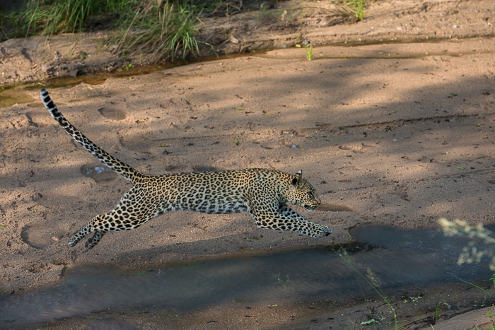 The Tamboti young female doesn't take any chances as she crosses the trickle in the Maxabeni river.