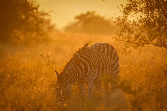 The lighting in Winter is beautiful, and although I would rather this zebra had it's head up (we were in a rush and i just had time to snap a quick shot), the warm glow gives a lovely feel to the scene.