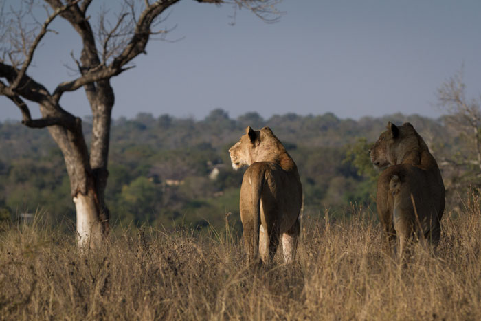 The Adult Tsalala lionesses look down over Sasekile Ingwe clearing towards the Londolozi Camps