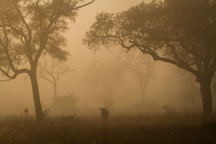 A misty morning with a lone male wildebeest wandering through his territory.