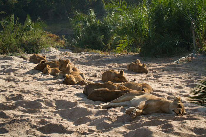 The Mhangeni pride, not seen much on londolozi of late, return to one of their old haunts, the Manyelethi Riverbed.