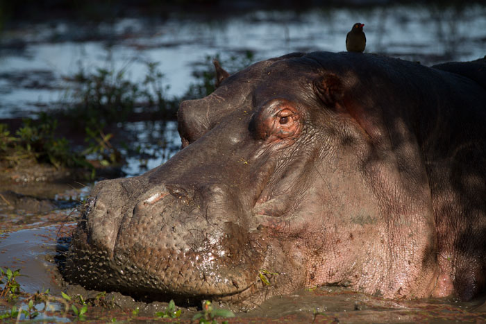 Lex's pan again. This time with a hippo bull seeking refuge in it's muddy waters.