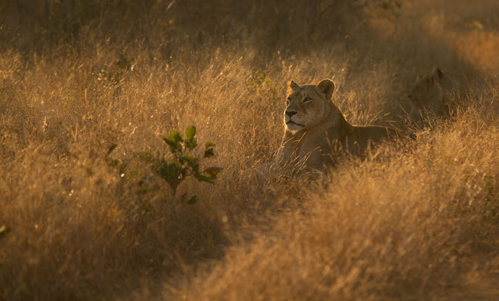 the Tsalala tailed lioness watches over her cubs while the unidentified male leopard watches from a marula tree nearby.