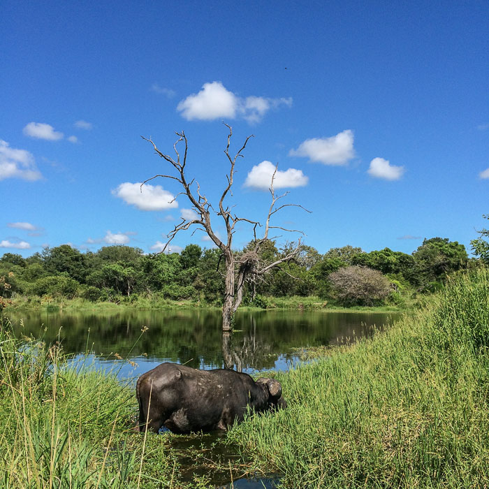 A Buffalo bull in Camp Dam.