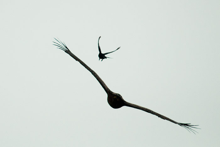 Drongo-chasing-wahlbergs-silhouette