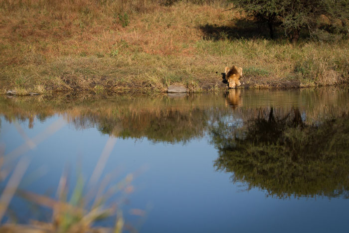A lone Selati male quenches his thirst at a waterhole deep in the South of Londolozi while the second male snoozes in the shade. These males may now have been forced into a nomadic lifestyle by the Majingilane.