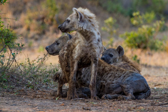 Hyenas of avrious ages are seen at the new den site.