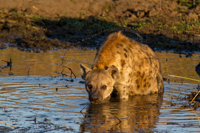 Thgis hyena bathes in a waterhole after finishing off a meal.