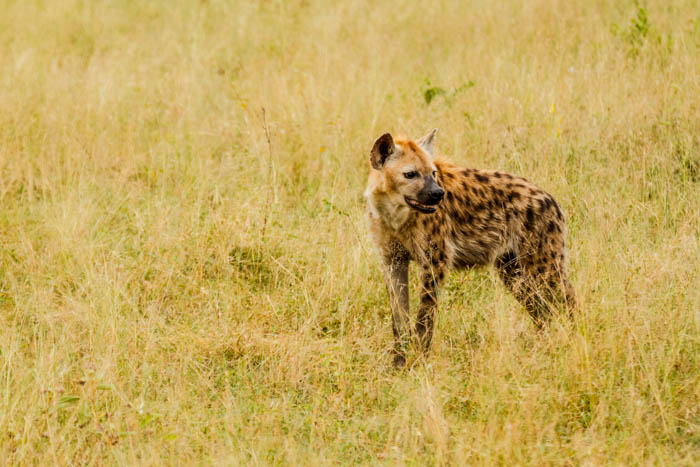 The return of the hyena population is an exciting one.